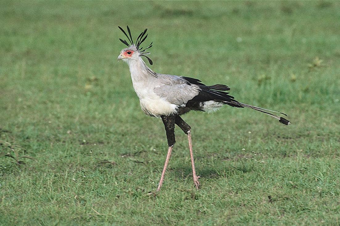 Http Rateeveryanimal Com 2012 04 11 Secretary Bird